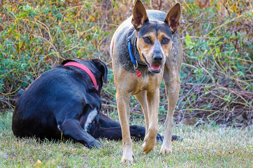 how to train a kelpie cattle dog