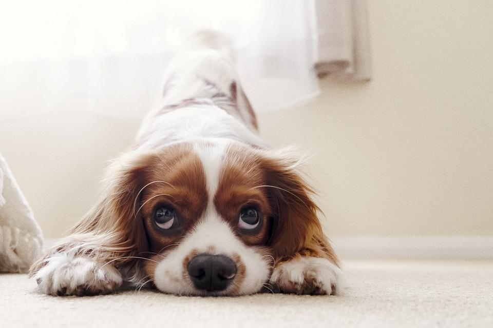Cavalier King Charles Spaniel, Puppy, Dog, Fur, Pet