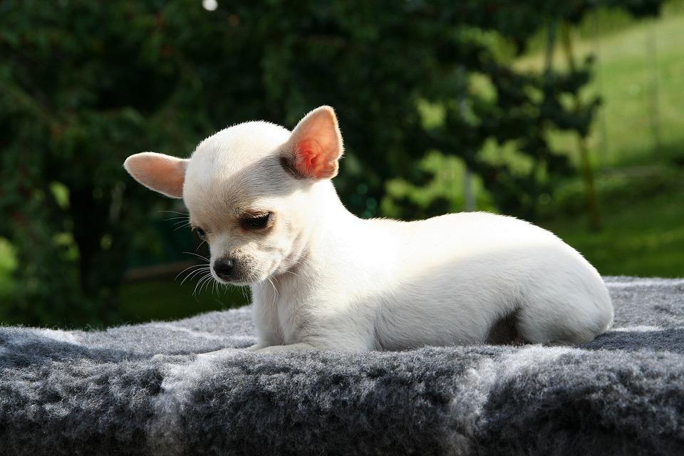 Animal, Dog, Chihuahua, Chihuahua Puppy