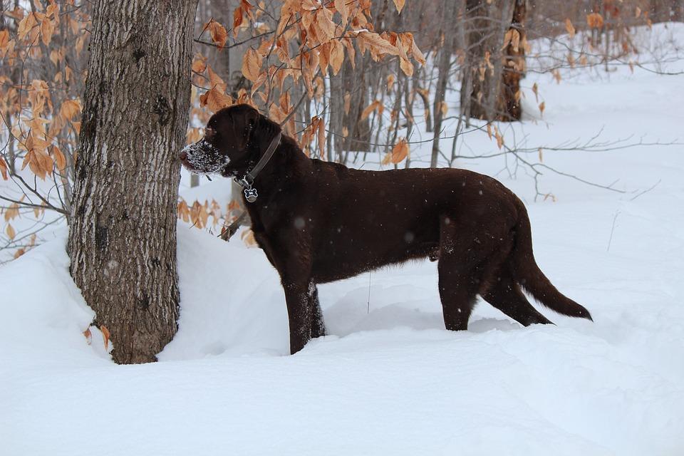 Dog, Labrador, Brown, Chocolate