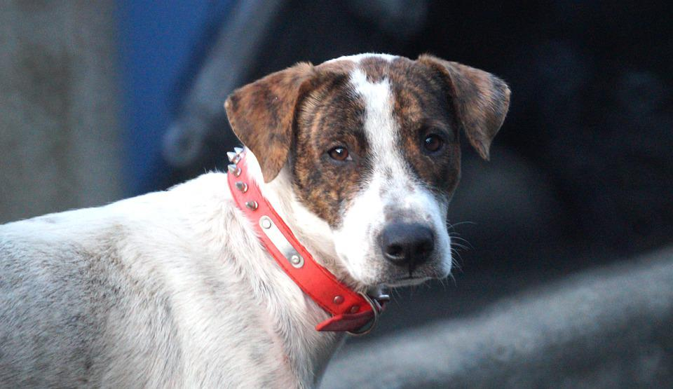 Dog, Pet, Collar, Dog Collar, Portrait, Dog Portrait