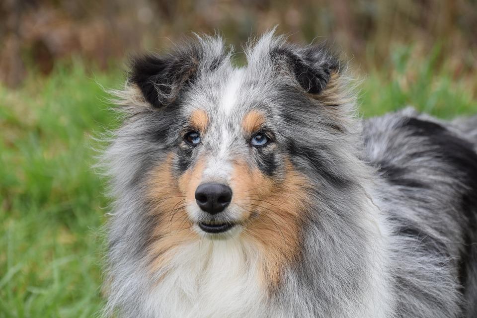 Dog, Bitch, Shetland Sheepdog Bounty, Color Blue Merle