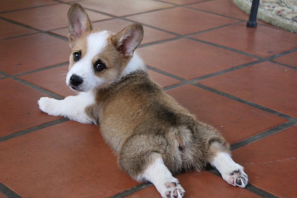 Corgi, Puppy, Cute, Dog, Purebred, Pup, Doggy, Sploot