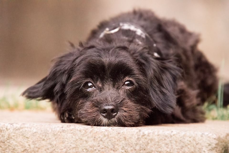 Dog, Cute, Animal, Mammal, Pet, Concerns, Black