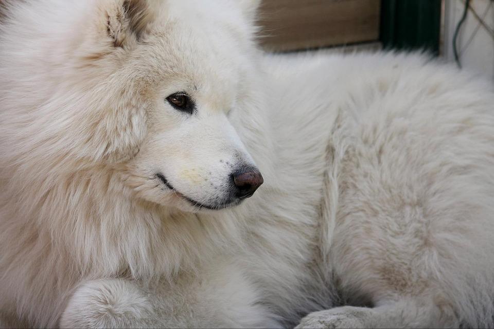 Dog, Samoyed, Animal, Pet, Cute, White, Happy, Canine