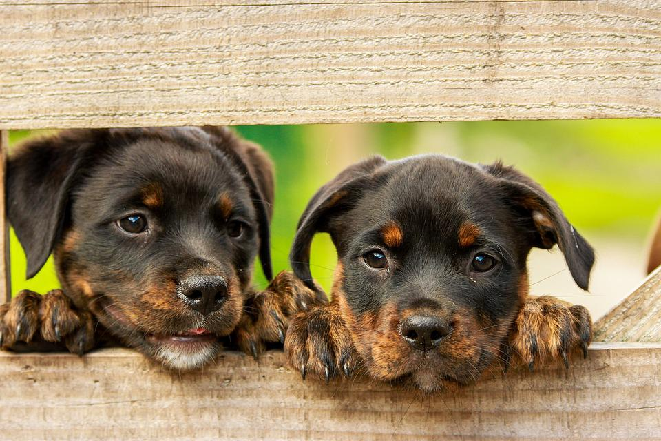 Rottweiler, Puppy, Dog, Dogs, Cute, Animal, Animals