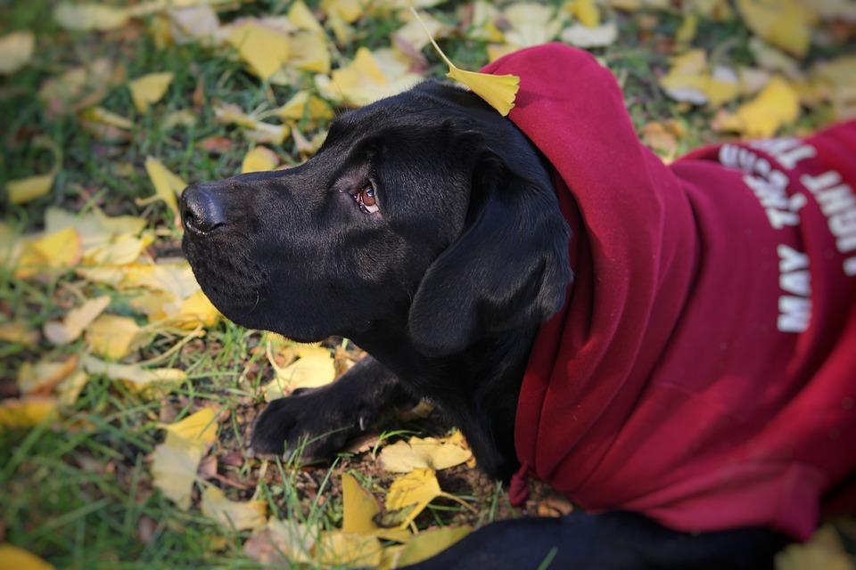 Autumn, Cute, Labrador, Dog
