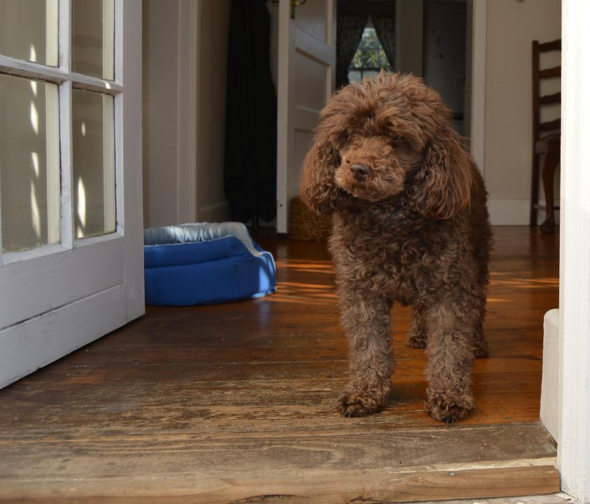 Dog, Poodle, Brown, Canine, Cute, Domestic, Puppy