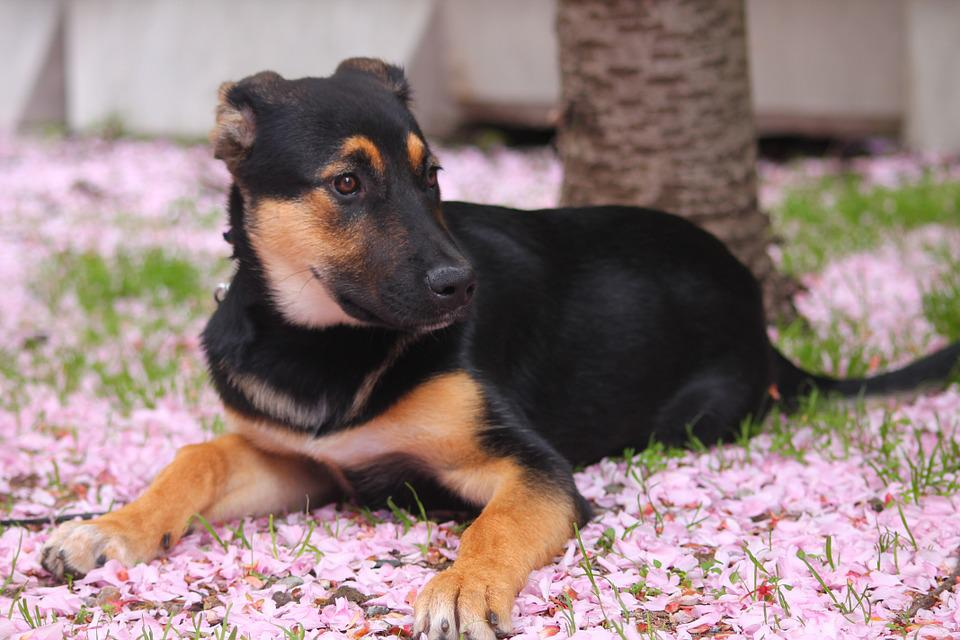 Cherry Blossom, Flowers, Puppy, Dog, Mix Breed, Cute