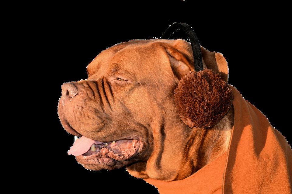 Dog, Ear Muffs, Fun, Cute, Pet, Animal, Domesticated