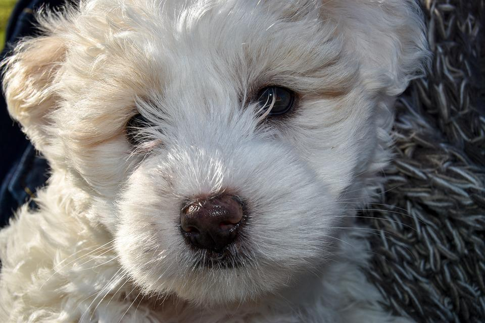 Puppy, Dog, Pet, Canine, Animal, Cute, Maltese Poodle