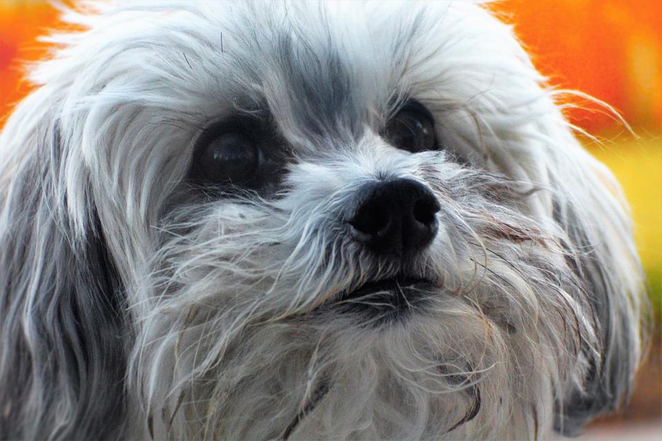 Poodle, Dog, Cute, Small Dog, White Dog