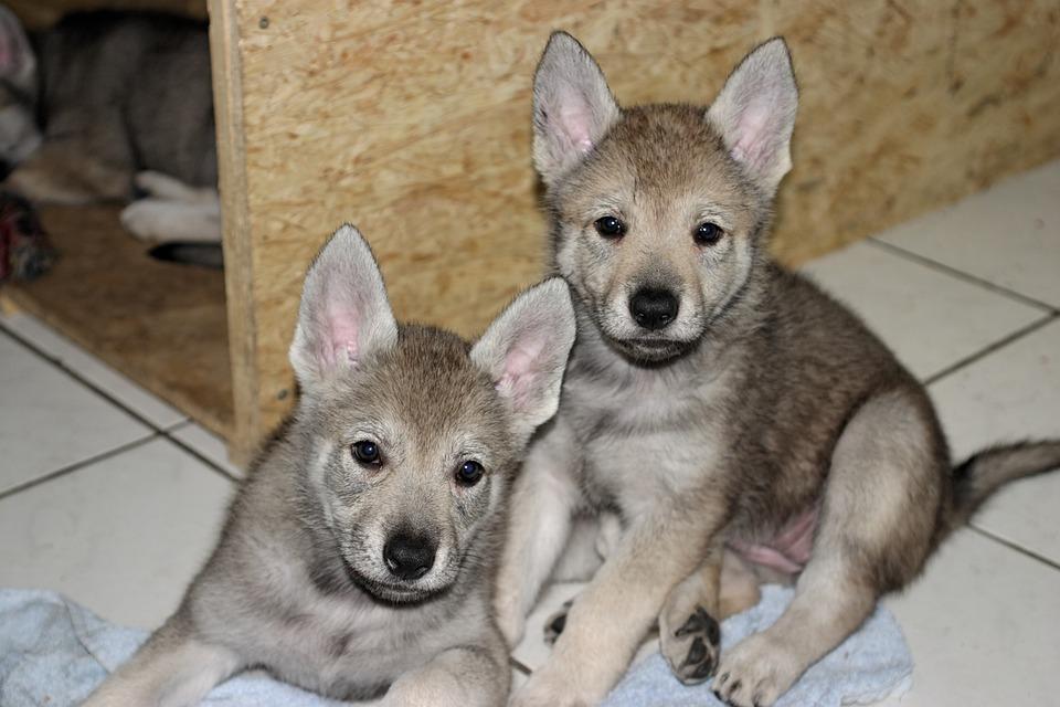 Czechoslovakian Wolf Dog, Puppy, Dog, Animals