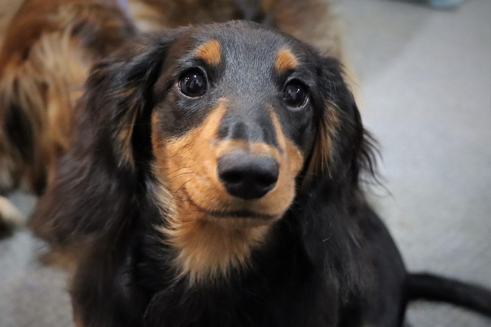 Dog, Canine, Dachshund, Pet, Domestic, Puppy