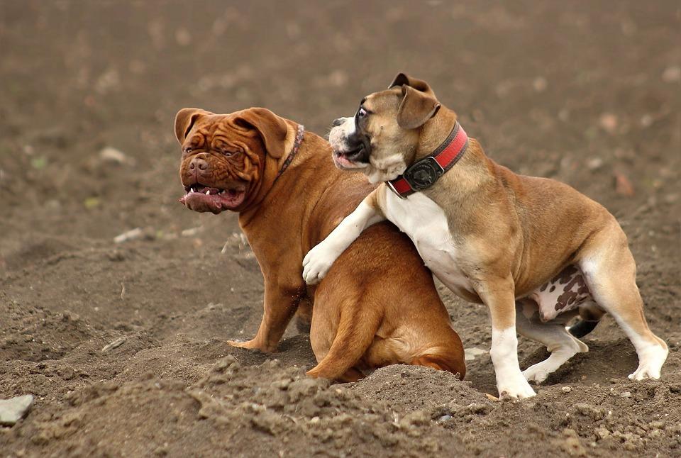 Dog, Large, Dogue De Bordeaux, Dog De Bordeaux