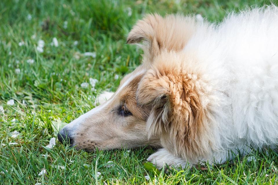 Collie, Dog, Animal, Head, Tired, Dear, Fur