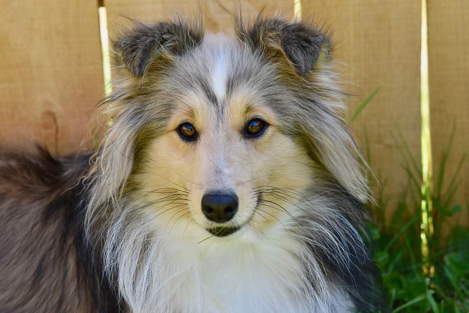 Dog, Dog Berger Shetland, Bitch Nayana, Color Fawn