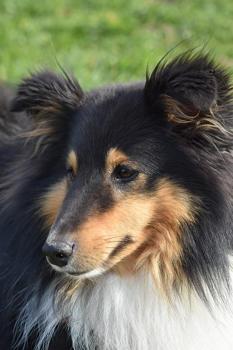 Dog, Dog Portrait, Dog Shetland Sheepdog