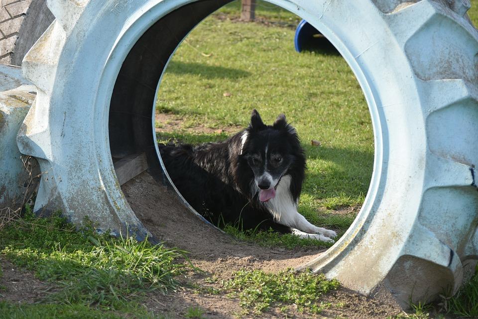 Band, Dog, Dogs, Nature, Sunny, Dog Training, Train