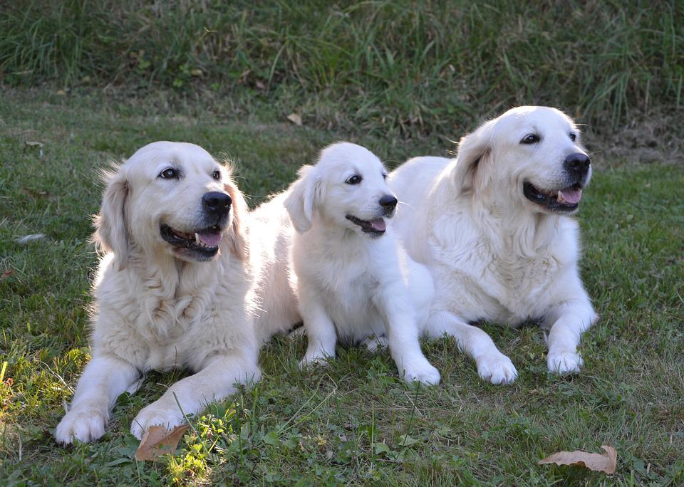 Dog Dogs, Puppy, Young Dog Dog Golden Retriever