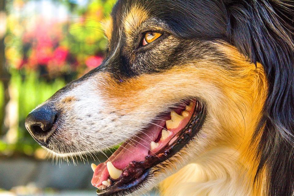 Australian Shepherd, Dog, Domestic, Face, Canines