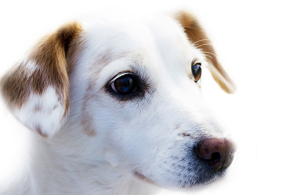Dog, Animal, Loyalty, Cute, Watchdog, Doggy, Domestic