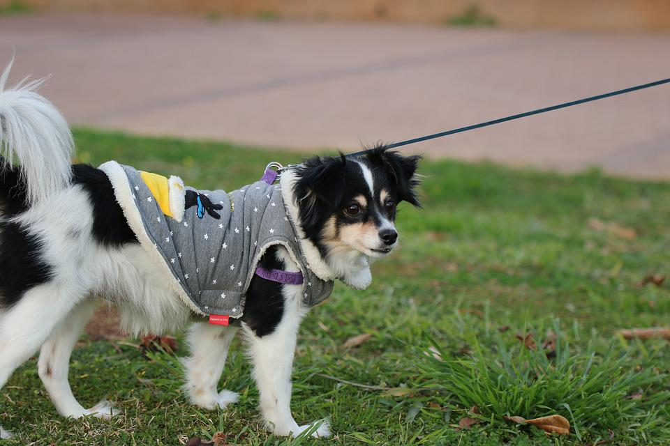 Dog, Cute, Adorable, Dressed, Coat