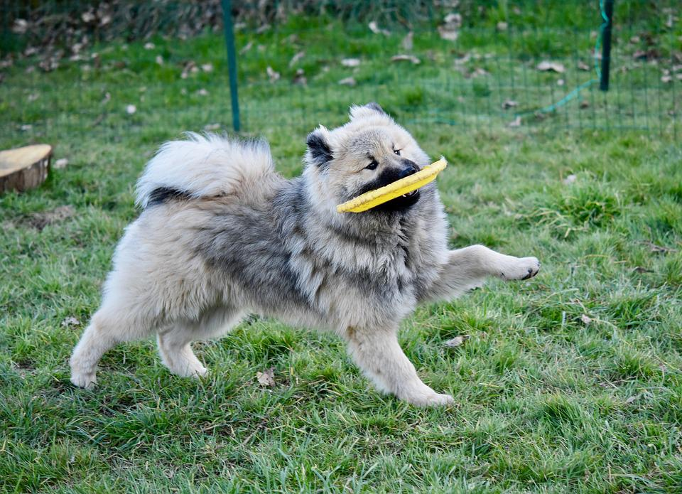 Dog, Dog Eurasier Olaf Blue, Young Dog Plays Frisbee