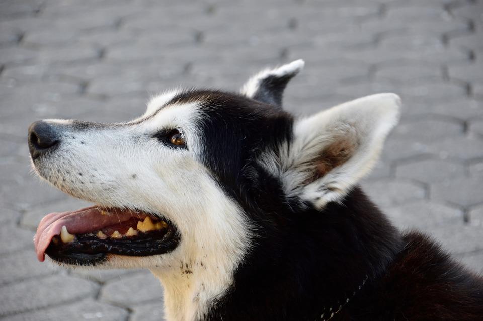 Husky, Dog, Animal, Portrait, Eyes, Sled Dog