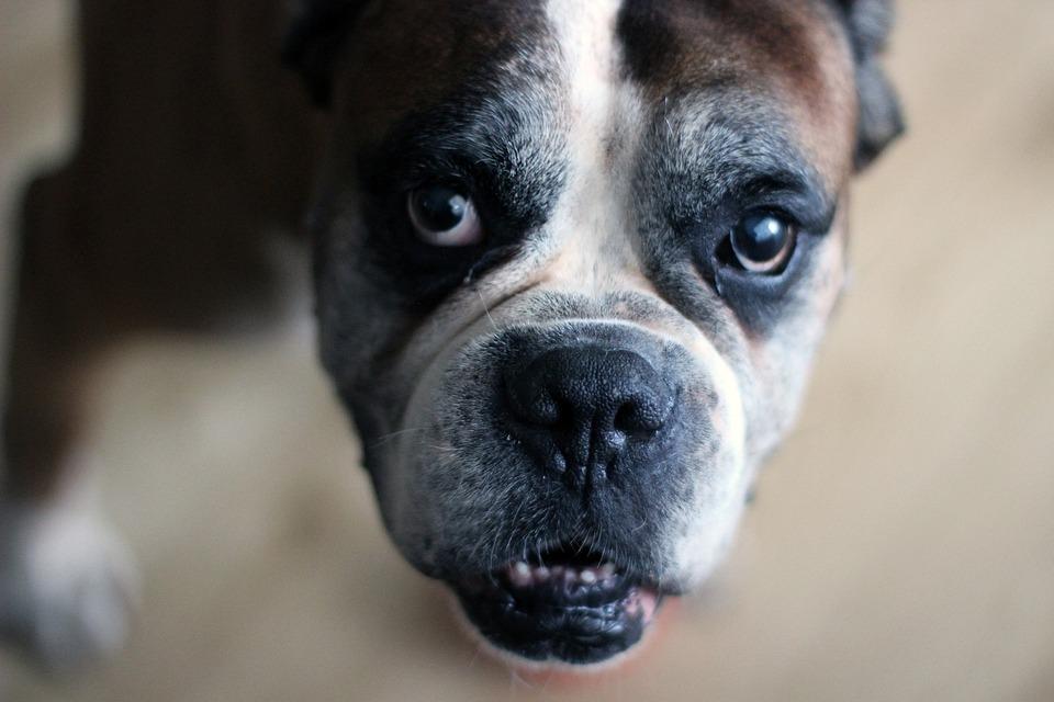 Dog, Animal, Boxer, Old, Face, Boxer Dog