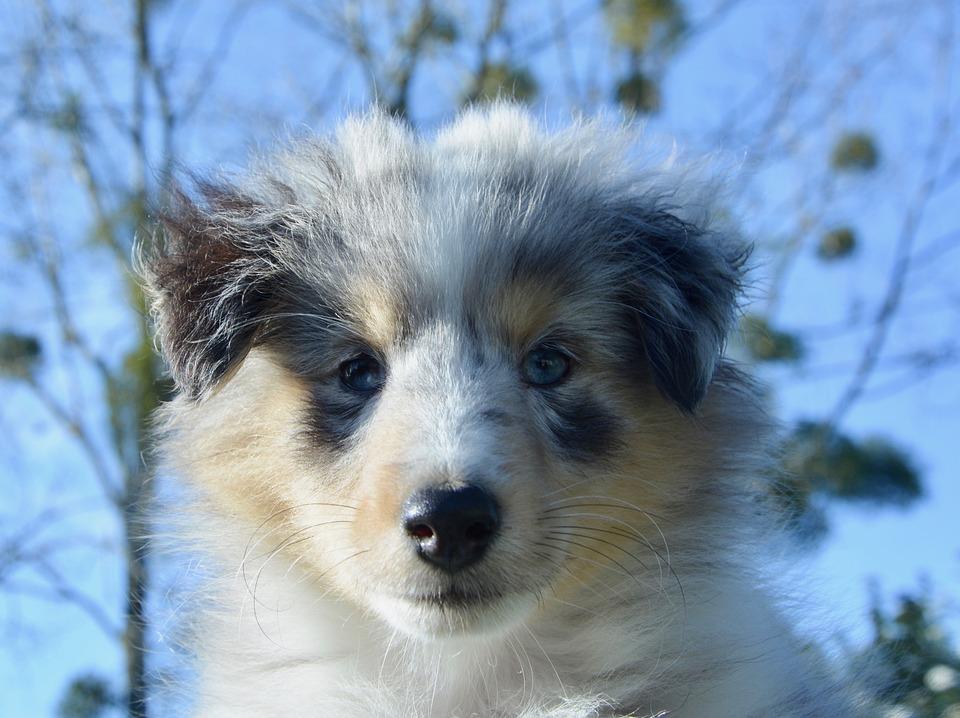 Dog, Puppy, Pup, Dog Portrait, Female Shetland Sheepdog