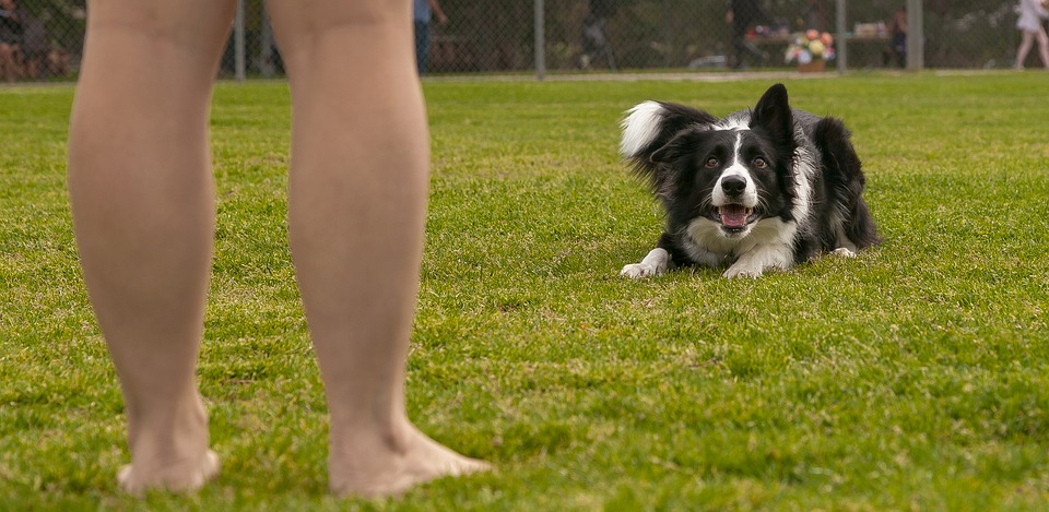 Dog, Grass, Animal, Young, Cute, Field, Pet, Obedience