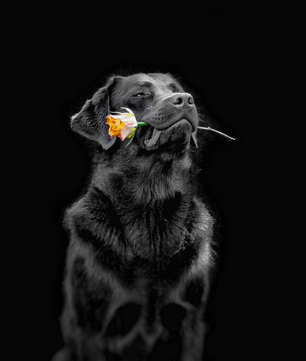 Dog, Flower, Labs To