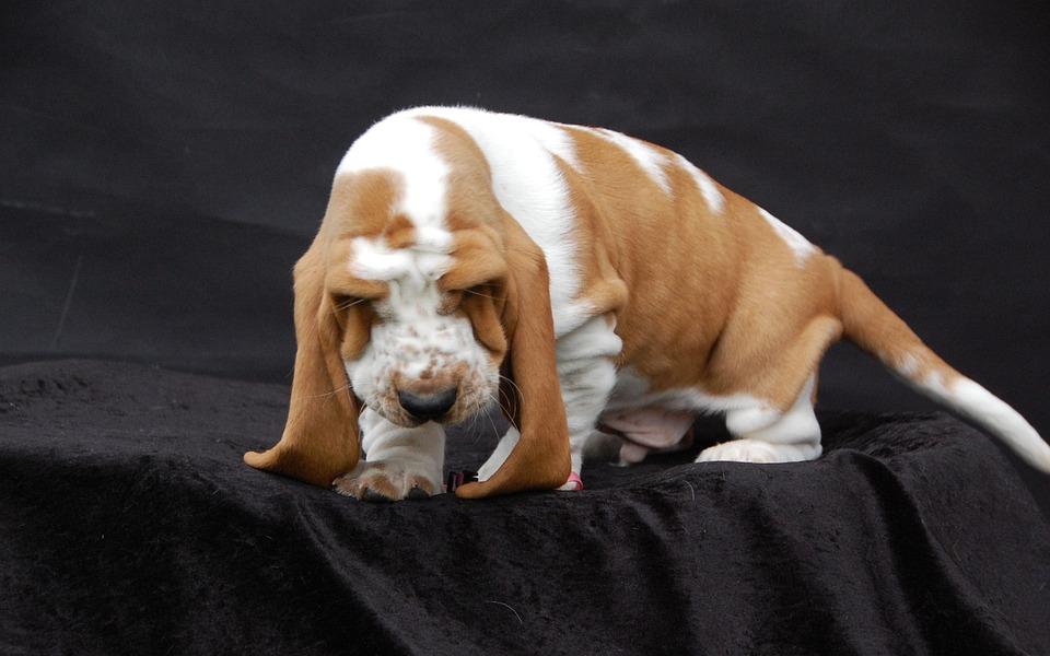 Basset, Dog, Fold