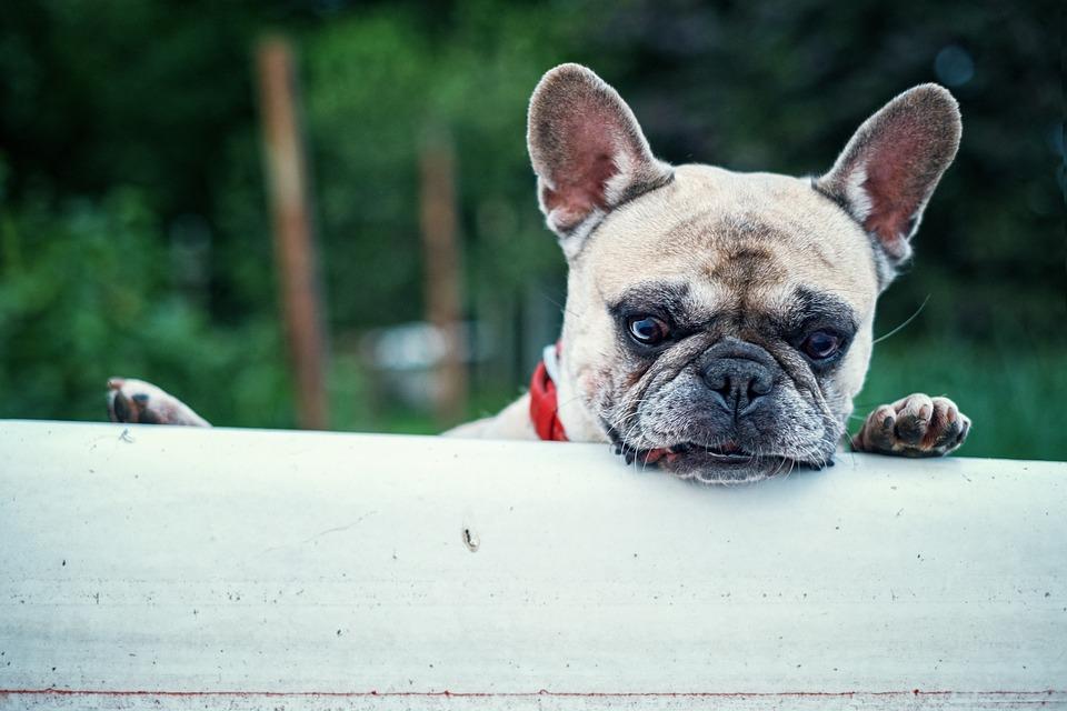 French Bulldog, Bath, Interest, Dog, Collar, Forest