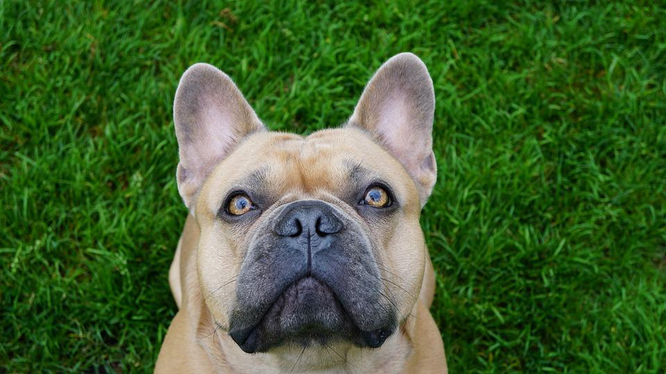 Background, Green, French Bulldog, Dog, Portrait