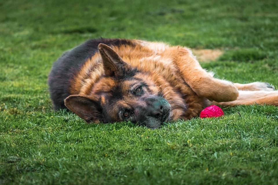 Dog, Pet, Animal, Canine, Friendship, Domestic