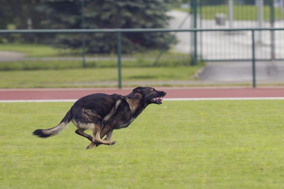 German Shepherd, Dog, Running, Competitions