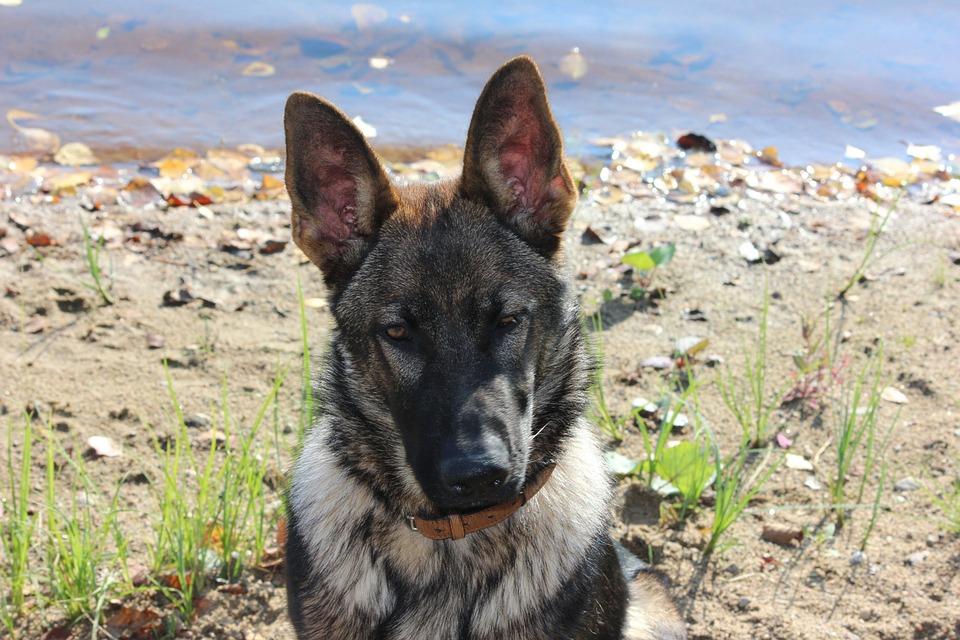 Dog, German Shepherd, Beach, Pet