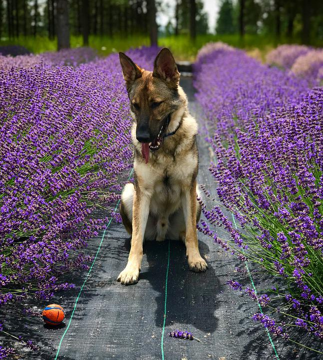 Lavender, German, Shepherd, Animal, Dog, Portrait