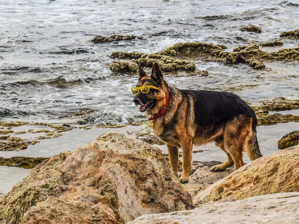 Dog, Glasses, Yellow, Funny, Pet, Animal, Domestic