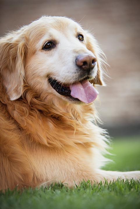 Golden Retiver, Dog, Happy Dog, Dog Playing, Juesgos