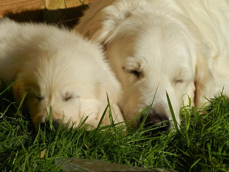 Dog, Puppy, Golden Retriever, Animal, Cute, Animals