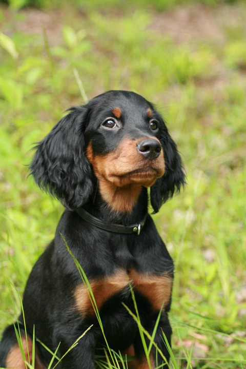 Dog, Sitting, Gordon Setter