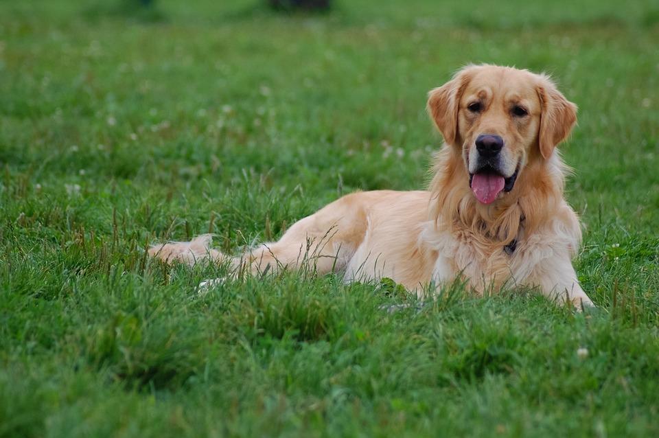 Dog, Grass, Animal, Green, Meadow, Spacer, Golden