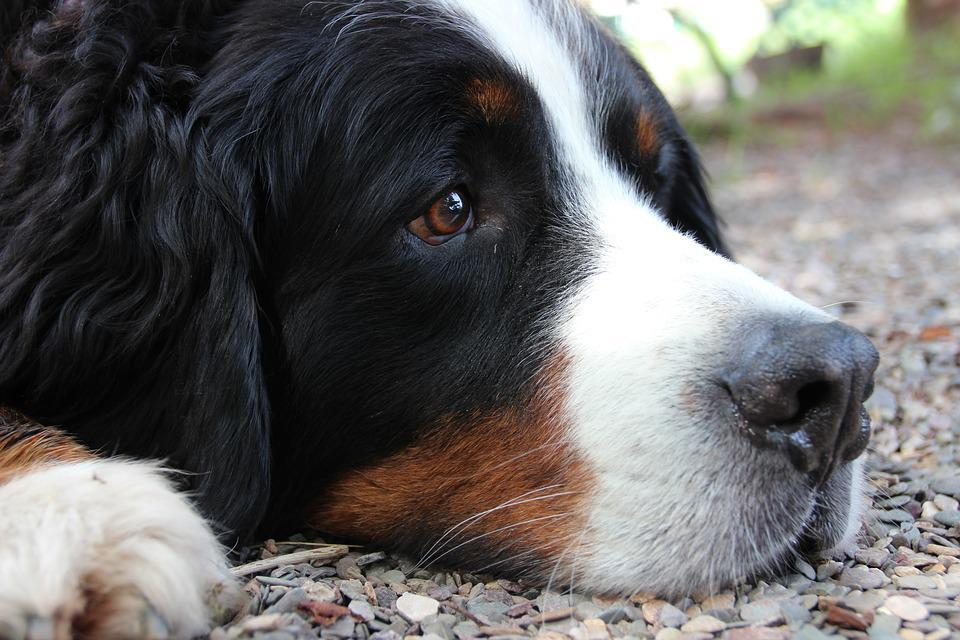 Dog, Berner Sennen, Dog Head, Brown Eyes, Portrait