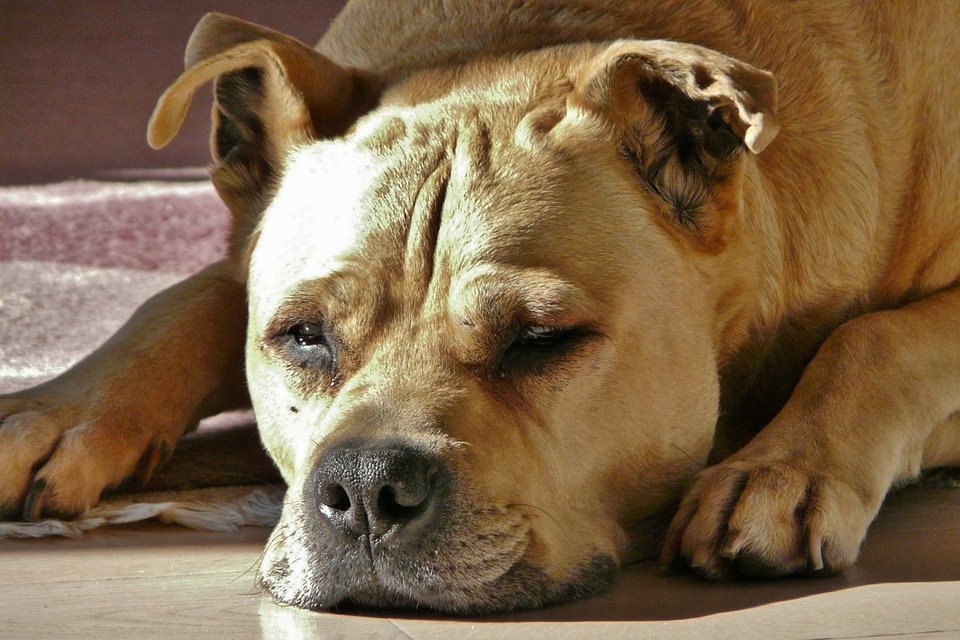 Dog, Hundeportrait, Beige, Peaceful, Pet, Dog Head, Fur
