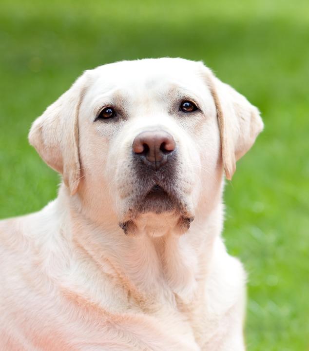 Dog, White, Labrador, Hundeportrait, Outdoor, Dog Head