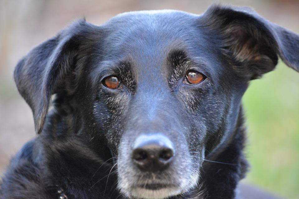 Dog, Dog Look, Animal, Pet, Hybrid, Dog Head, Close