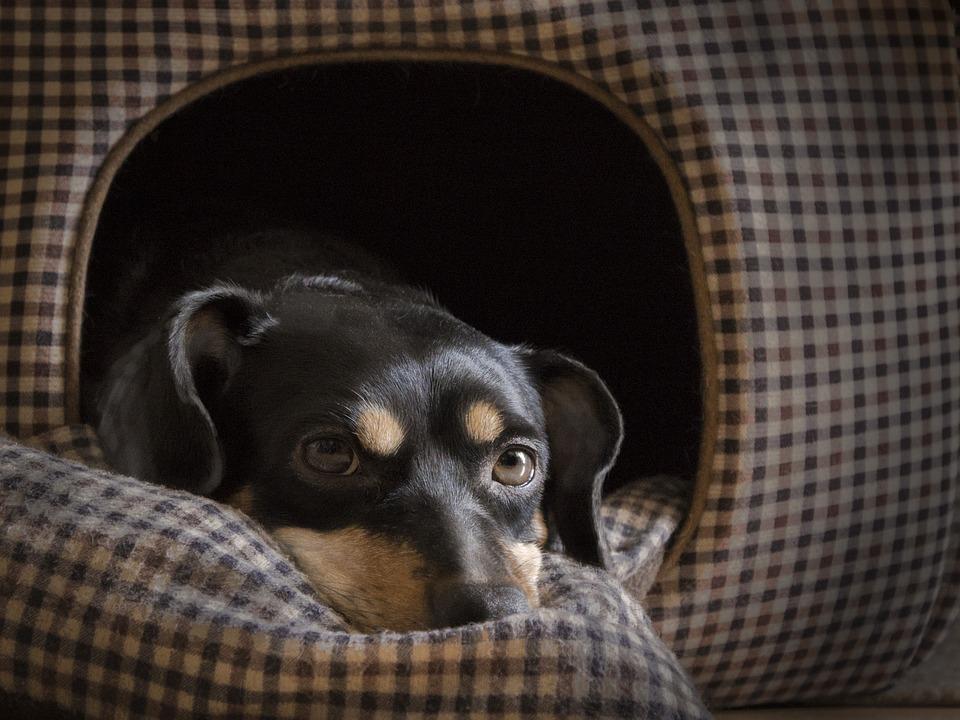 Dog, House, Eyes, Pet, Dachshund, Short-legged